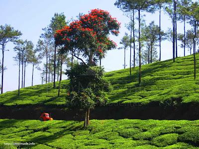 Peermade Tea Garden
