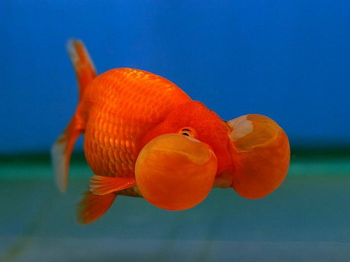 Bubble-Eye goldfish