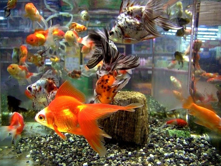Nature 39 s beauty gold fish of my aquarium for Fish tank for goldfish