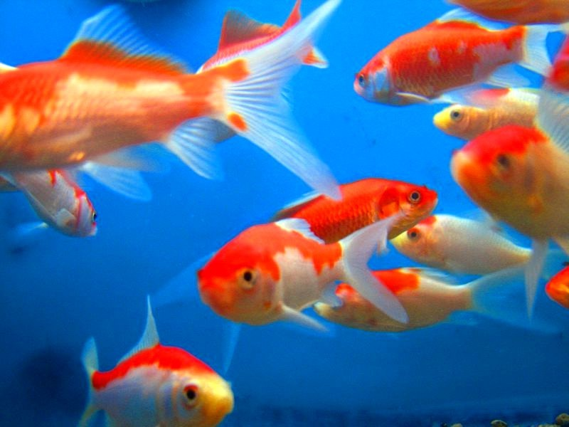Pictures of goldfish and a short description all for Information about fish