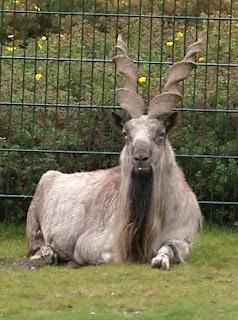 Markhor: national animal of Pakistan