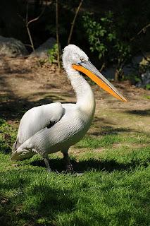 Dalmatian pelican in Moldova