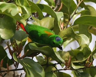 Blue crowned parrot