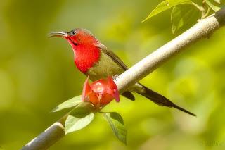 Crimson sun bird