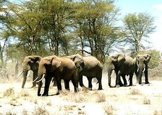 Bush elephanta