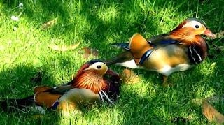 Drake Mandarin Ducks