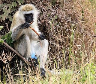 Chlorocebus monkey