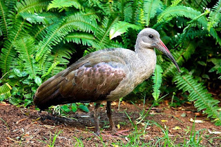 hadada ibis is found in Uganda