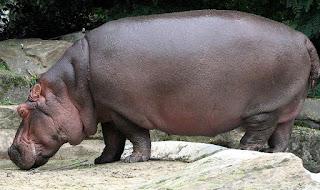 hippopotamus is found in Uganda
