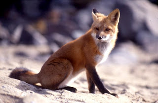 red fox in Cyprus