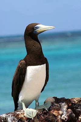 brown booby tern found in Tuvalu