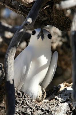 white tern found in Fiji