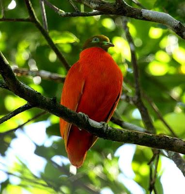 orange dove found in Fiji