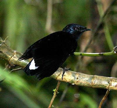 silktail found in Fiji