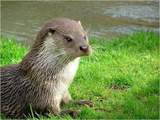 otter is found in Croatia