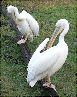 great white pelican found in Croatia
