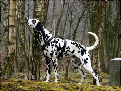 dalmatian, national animal