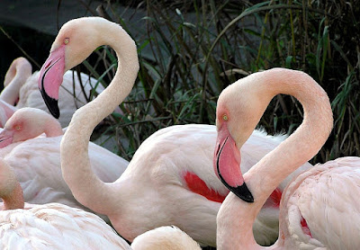 greater flamingo found in Zambia