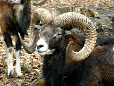 Mouflon goat in Turkmenistan