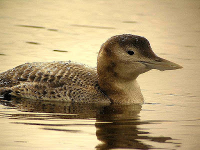 Yellow billed loon
