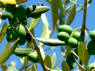 immature olives
