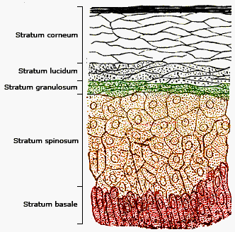 Human Skin Layers And Functions