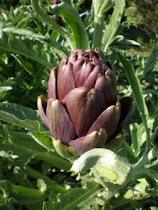 'Violetto' Artichoke