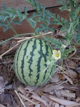 Grow your own Watermelon!