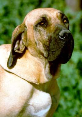Fila Brasileiro Mastiff