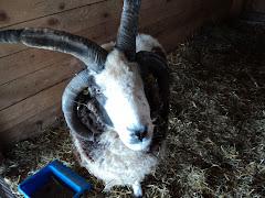 horns aplenty!