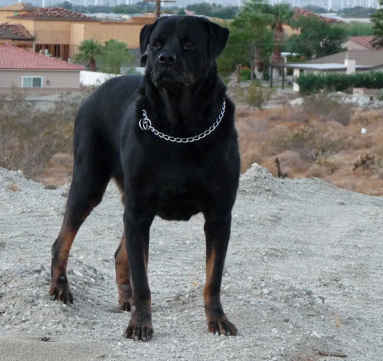 Dogs Wallpapers: Rottweiler