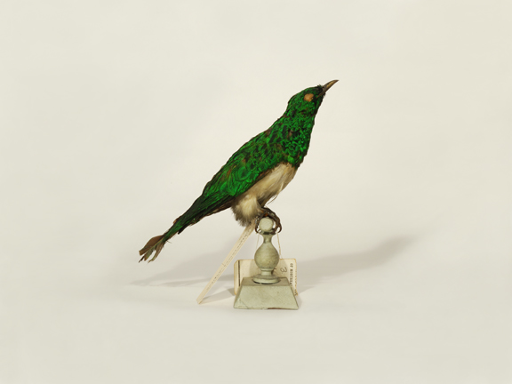African Emerald Cuckoo (Redpath Museum)