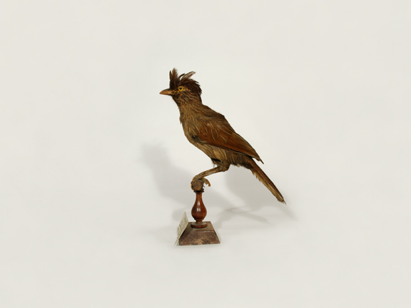 Striated Jay Thrush (Redpath Museum)