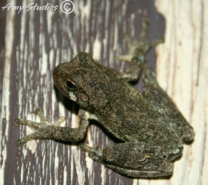 Tree frogs are adorable, but loud!