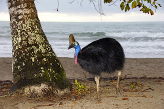World's most dangerous Bird, the Cassowaries