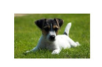 Jack_Russell_Terrier