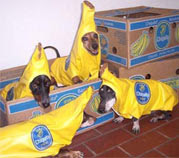 Halloween The Banana Bunch image photo picture