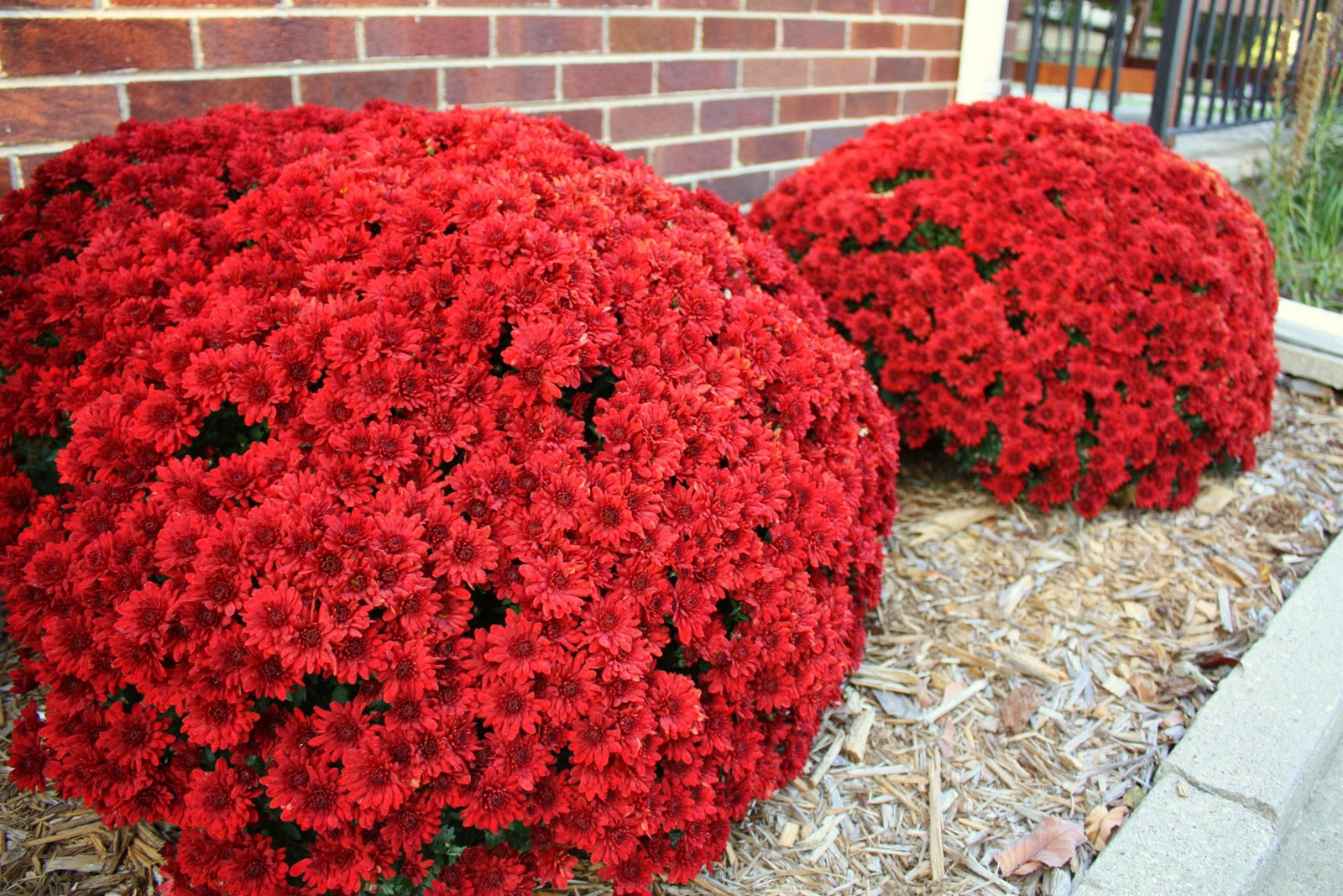 Russet street reno vegetation my mom is dying of jealousy she cant get any mums to come back and i dont do anything special to these no purposeful watering no fertilizer mightylinksfo