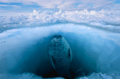 under the ice seal