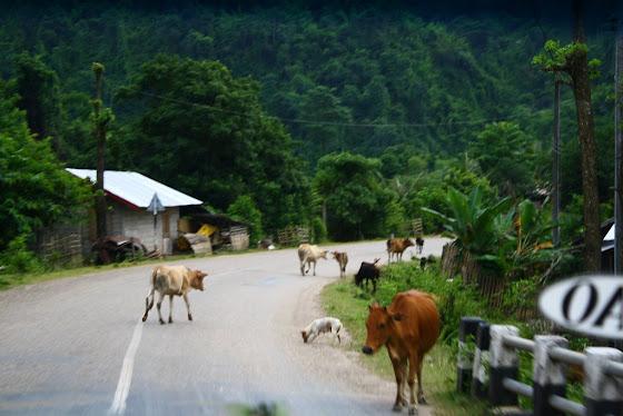 Hay muchos animales andando por los caminos en Vietnam