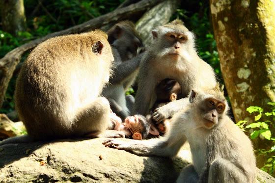 Los monos en Ubud, Bali