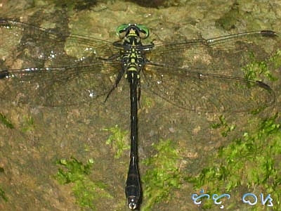 dragonfly tutubi