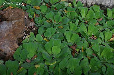 kiapo quiapo plant