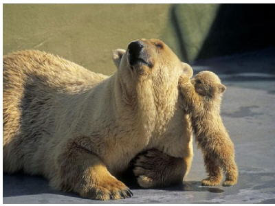 mother_bear