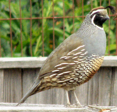 Image Result For California Valley Quail