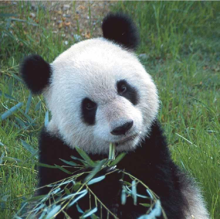 Greenfield Institute The Panda Bear