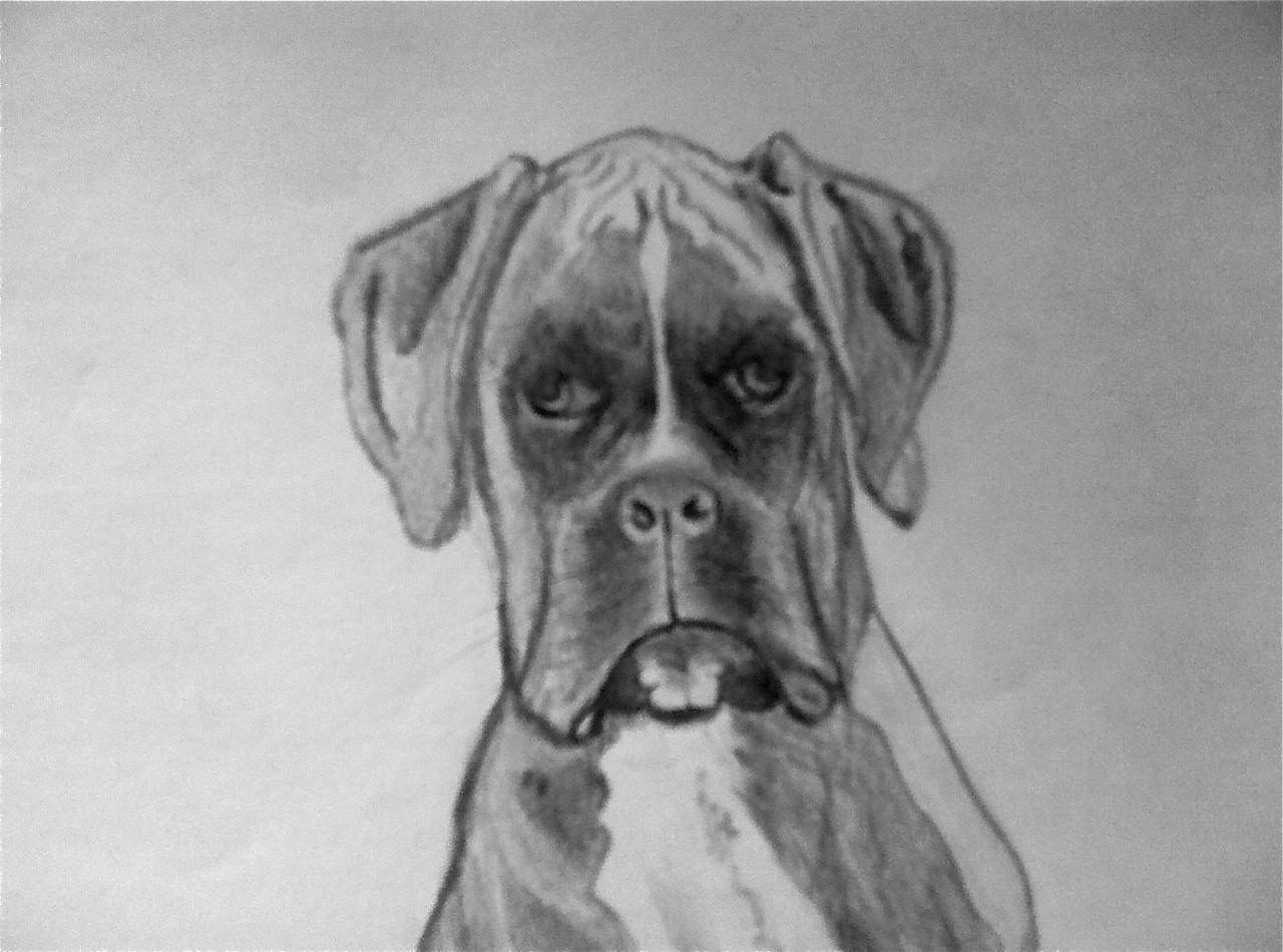 Manunews ayons du chien - Dessin chien boxer ...