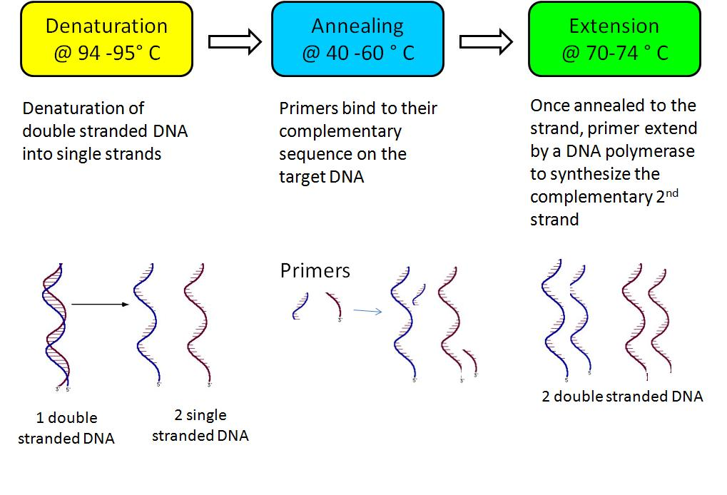Store-for-LongPolymerase Chain Reaction Diagram