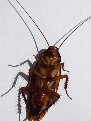Image of a dead cockroach lying on his back