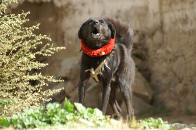 Image of a chained Tibetan guard dog (a Tibetan Mastiff), with the customary Tibetan metal-studded, red cloth collar, and vicious bark of its breed.